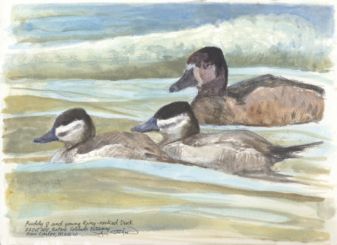 10-26-11 Ruddy & Ring-necked Duck 96