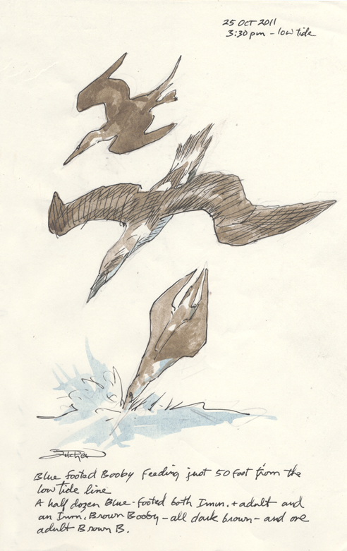 Journal pg. Blue-footed Booby diving 102511