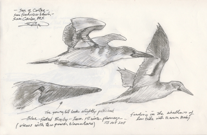 Journal pg. Imm. Blue-footed Booby 10-25-11-96