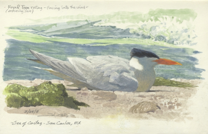 Royal Tern resting96