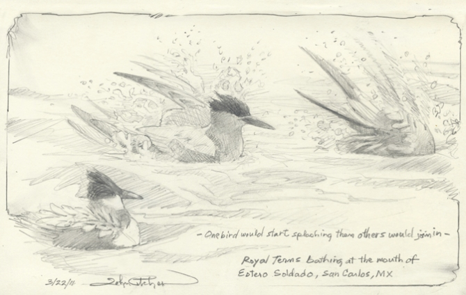 Royal Terns bathing96