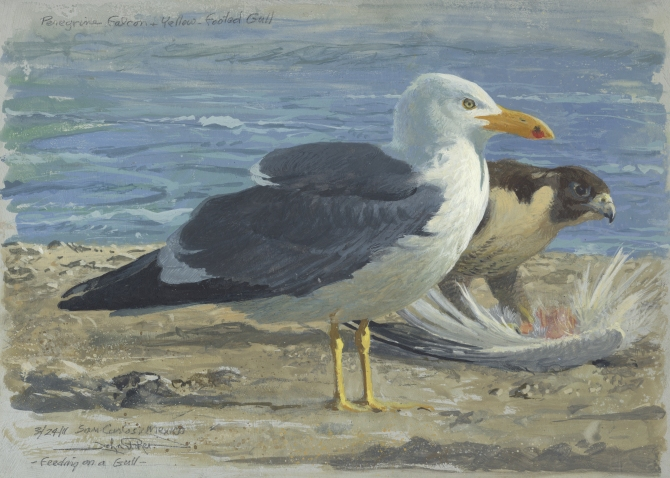 Yellow-footed Gull & P. Falcon